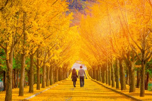 開運に繋がる銀杏並木の画像
