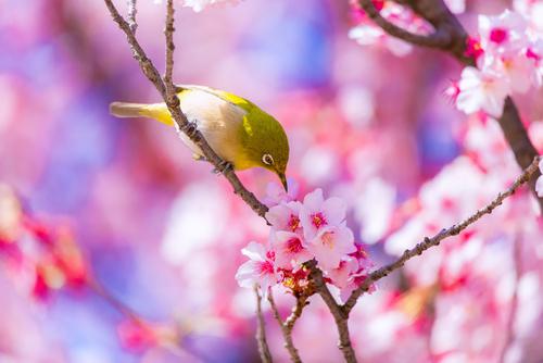 恋が叶う鳥と桜の画像
