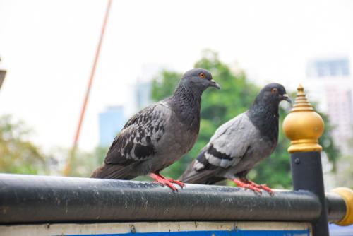 恋を叶える鳩夫婦の画像