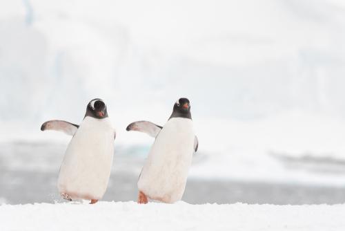 恋を叶えるペンギン夫婦の画像