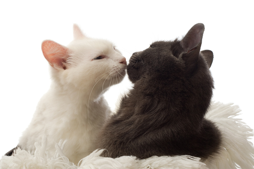 恋を叶えるキスする猫の画像
