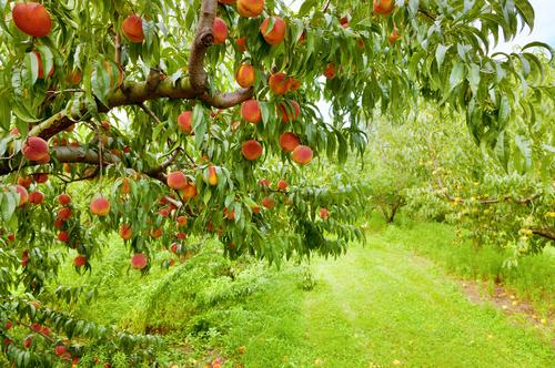 嫌いな相手と出会わない桃の木の画像