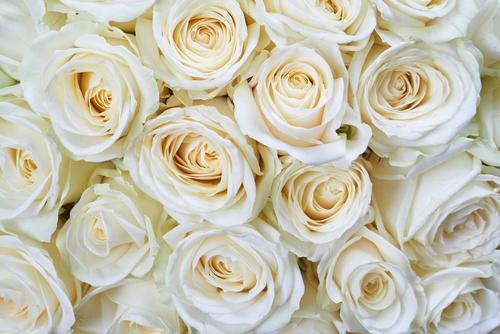 恋愛運を高める白い薔薇の画像