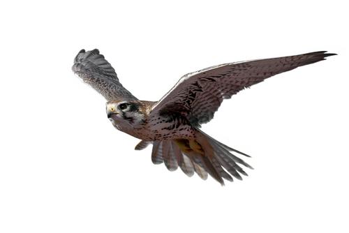 運気が上がる鷹の待ち受け画像