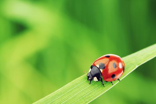 恋愛運のアップをさせるてんとう虫の画像