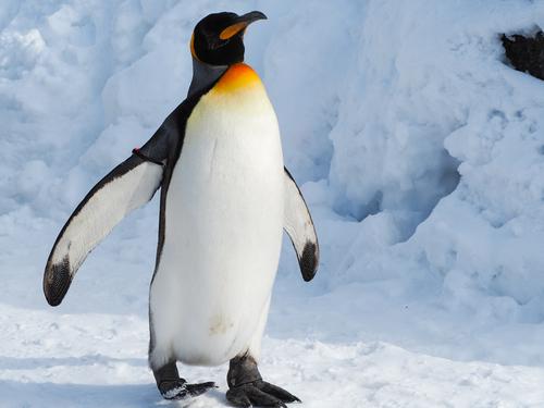 開運福皇帝ペンギンのアイコン画像