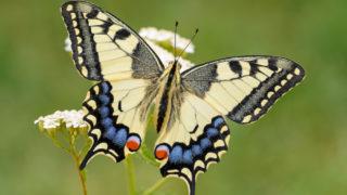 アゲハ蝶のスピリチュアルな意味とは?黄アゲハ・黒アゲハ・青いアゲハ蝶など色別や寄ってくる時などのスピリチュアルメュセージ