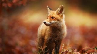狐を見た時のスピリチュアルな意味とは?白い狐や女狐など縁起が良い悪いと共に解説