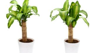 幸福の木(ドラセナ・マッサンゲアナ)の花言葉と10年に一度くらいしか咲かないと言われる幸福の木の花が縁起が良いと言われる理由とは?